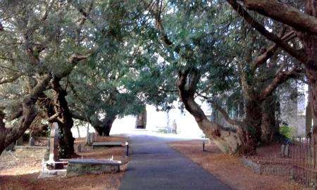 Yew trees in Nevern churchyard